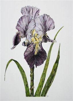 Bearded Iris -- Pen & Ink with Watercolour Washes-- 15 x 13 inches
