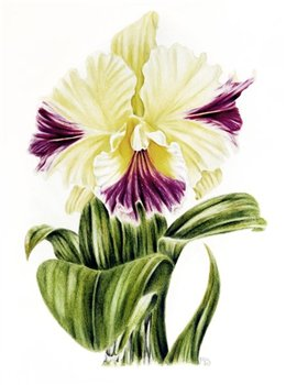 Cattleia Orchid -- Coloured pencil -- 11 x 8 inches