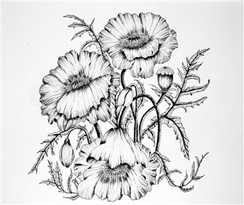 Poppies in Pen & Ink -- 11.5 x 10.5 inches